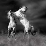 Stallions in the Dust