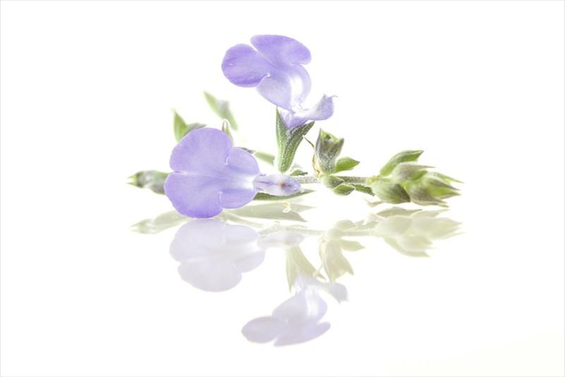 Anna Pha Blue Lobelia