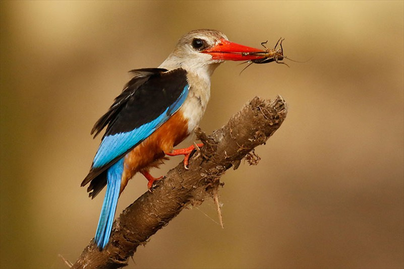 Eric Lippey Greyheaded Kingfisher