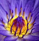 Janie News - Purple waterlily closeup