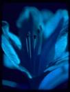 Bob Green blue azalea