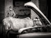 Michael Hing  Man Cow and Car