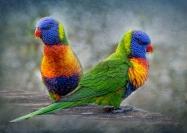 Bob Green  Rainbow Lorikeets Two Credit