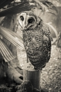Greg Lake lesser sooty owl Credit