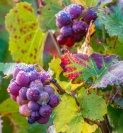 dallas_thomas_rain drops on the grapes