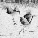 Cranes - Eric Lippey