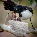 Wagtail Feeding Chicks