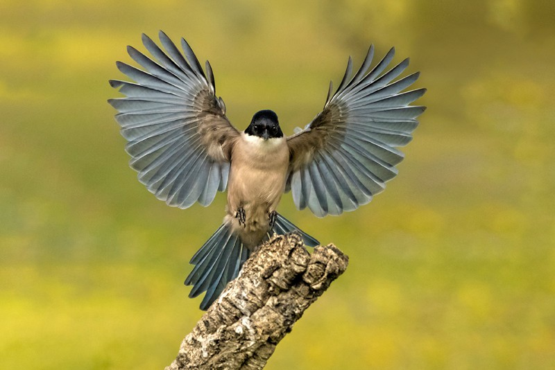 2018 Colour Print of they Year Kerry Boytell Azure winged magpie landing
