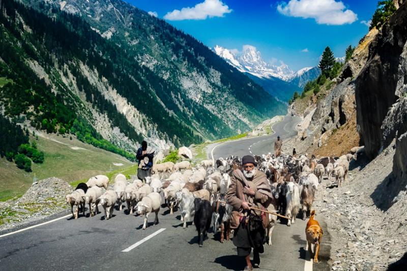 Hemant Kogekar Herding sheep
