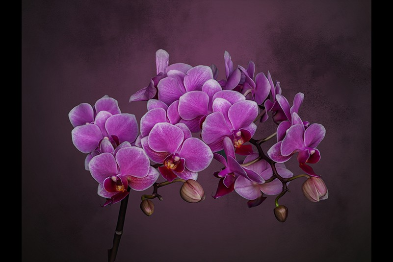 Margaret Renaud  Orchid in soft light