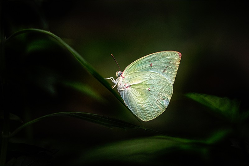 Maria Mazo Butterfly in green